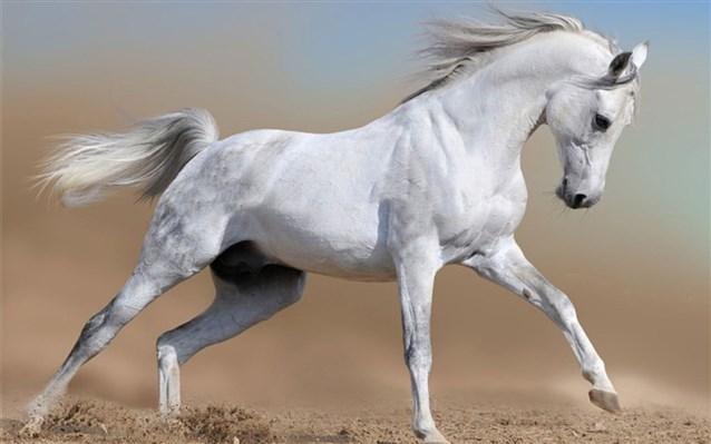 صورة تفسير الاحلام الحصان الابيض , تفسير رؤية الحصان في المنام