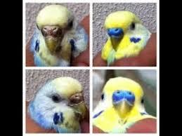 صورة الفرق بين الذكر والانثى في طيور الحب , مميزات طائر الحب