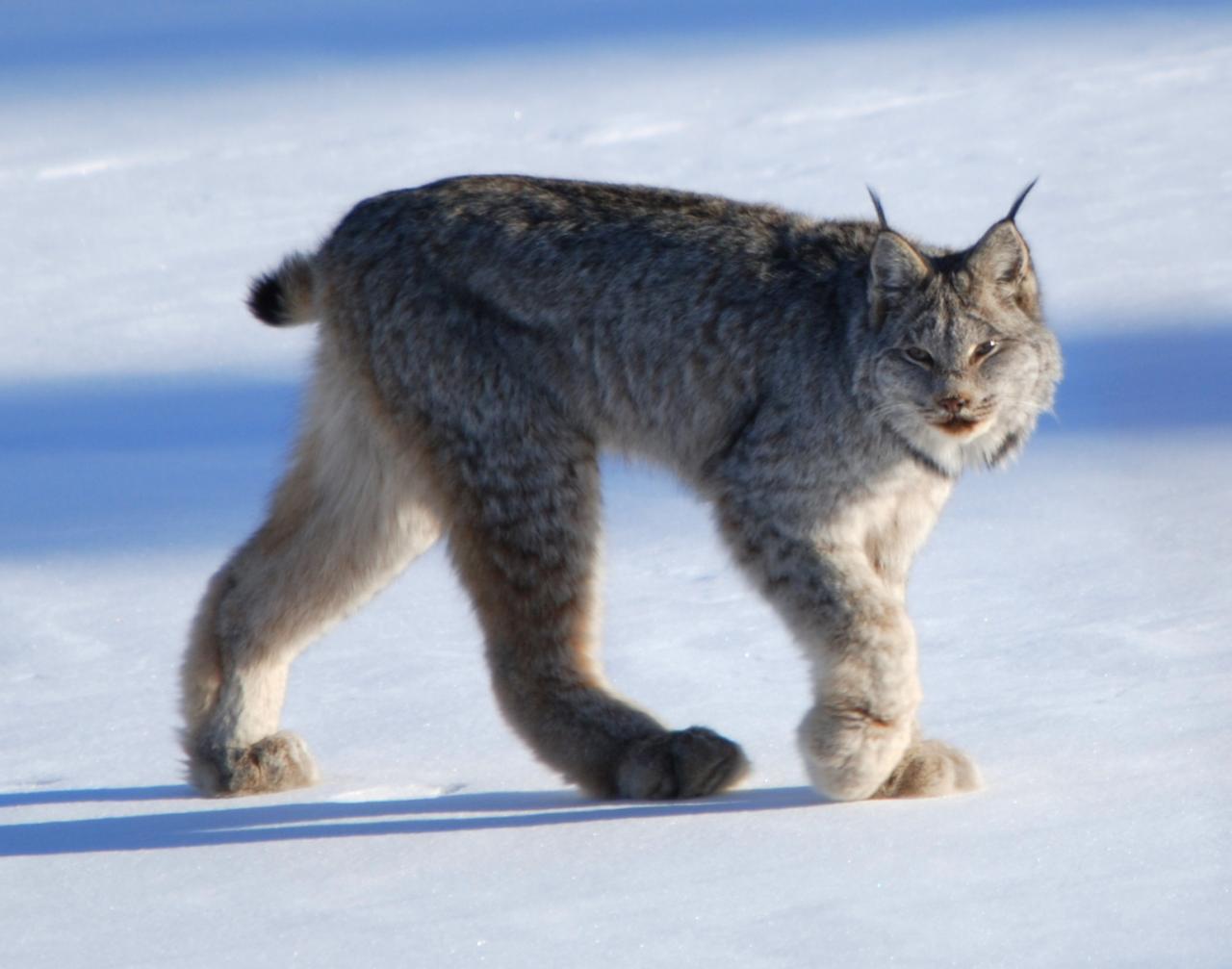 صورة حيوان بري اصغر من النمر ويسمى بسنور الجبل , العاب التركيز وقدرة التخيل 2875 2