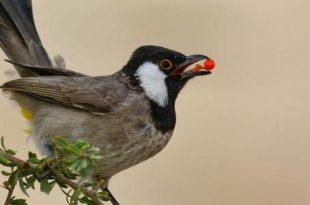 صورة ما هو اسم صوت البلبل , معلومات مفصلة عن طائر البلبل