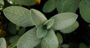صورة ما فوائد الميرمية , الاسرار الصحية لفوائد عشب الميرمية