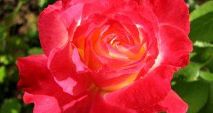 صورة اجمل وردة فى العالم , احلى زهرة فى الكون كله