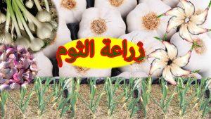 صورة كيفية زراعة الثوم , ازرعي هذا النبات في منزلك بكل سهوله