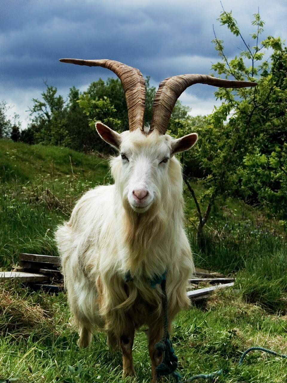 صورة تفسير رؤية الجدي في المنام , ذكر الماعز في المنام
