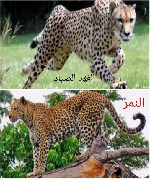 صورة الفرق بين النمر والفهد , اسرع الحيوانات السنورية واشرسها 1150 1