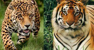 الفرق بين النمر والفهد , اسرع الحيوانات السنورية واشرسها