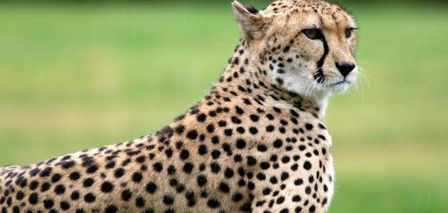 صورة الفرق بين النمر والفهد , اسرع الحيوانات السنورية واشرسها 1150 2