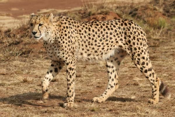 صورة الفرق بين النمر والفهد , اسرع الحيوانات السنورية واشرسها 1150 3