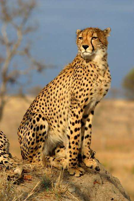 صورة الفرق بين النمر والفهد , اسرع الحيوانات السنورية واشرسها 1150 4
