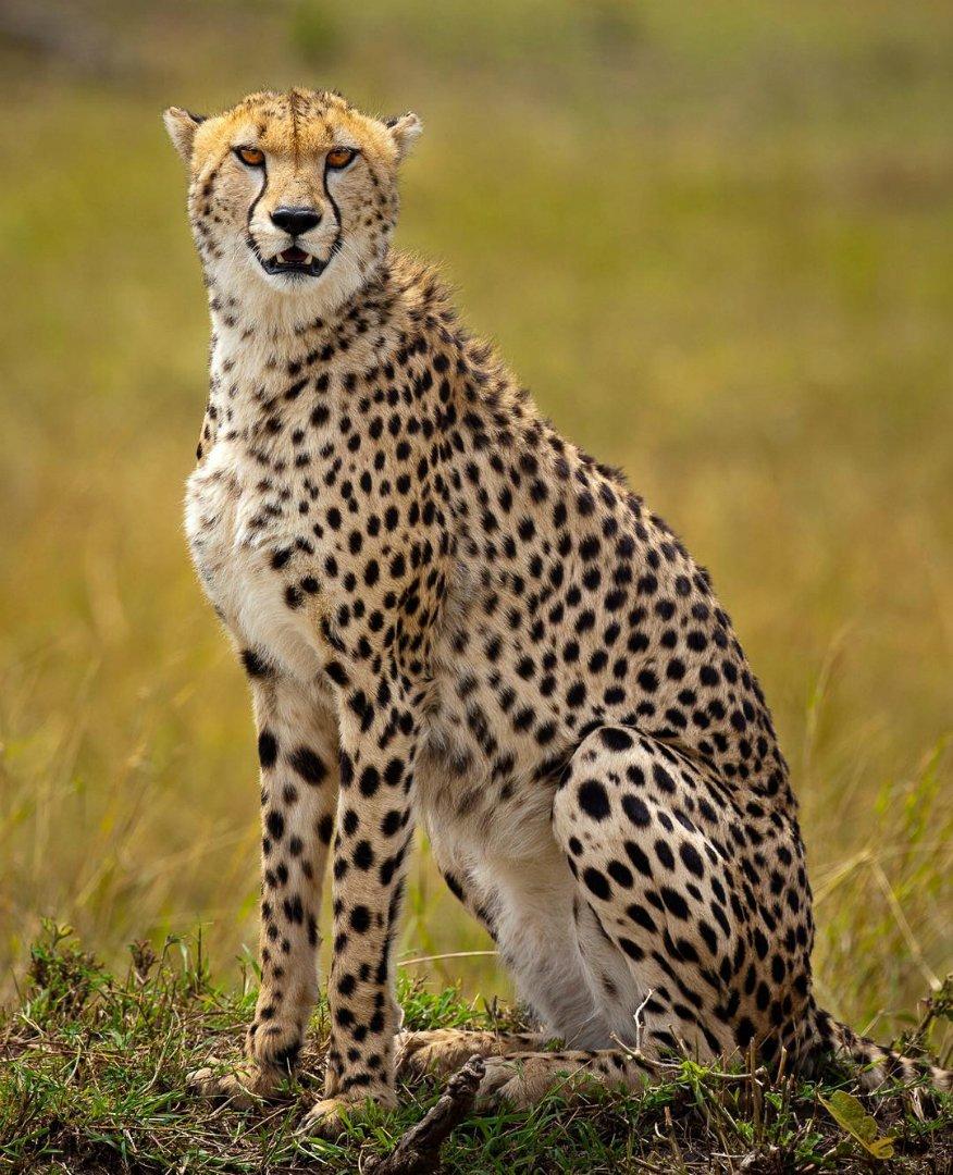 صورة الفرق بين النمر والفهد , اسرع الحيوانات السنورية واشرسها 1150 5