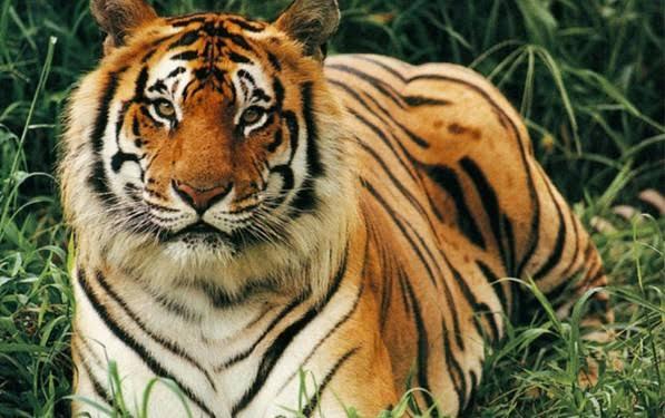صورة الفرق بين النمر والفهد , اسرع الحيوانات السنورية واشرسها 1150 6