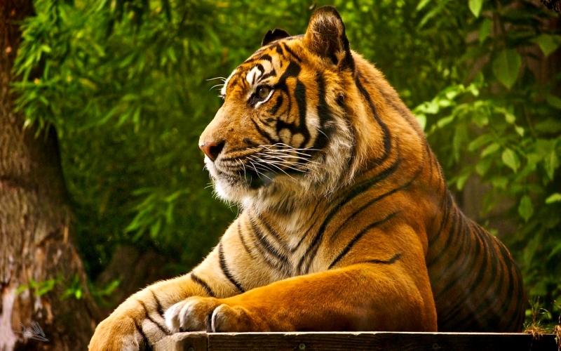 صورة الفرق بين النمر والفهد , اسرع الحيوانات السنورية واشرسها 1150 7