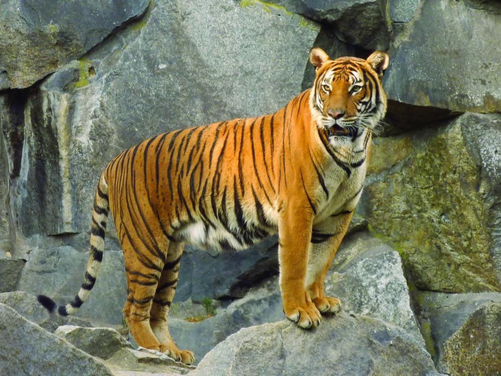 صورة الفرق بين النمر والفهد , اسرع الحيوانات السنورية واشرسها 1150 8