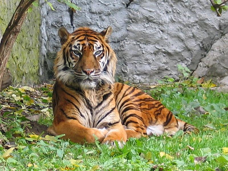 صورة الفرق بين النمر والفهد , اسرع الحيوانات السنورية واشرسها 1150 9
