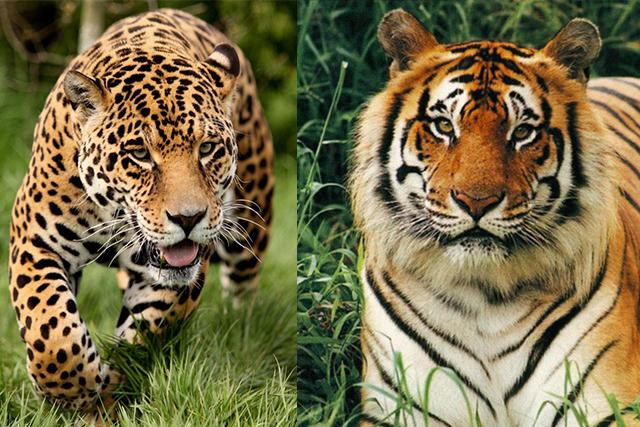 صورة الفرق بين النمر والفهد , اسرع الحيوانات السنورية واشرسها