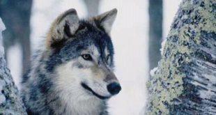صورة معلومات خطيرة عن الذئب , سلوك الذئب في الحياة البرية