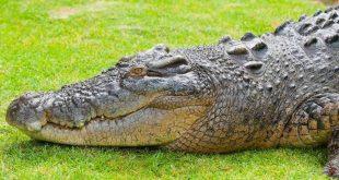 صورة تمساح في الحلم , دلالات التمساح في المنام