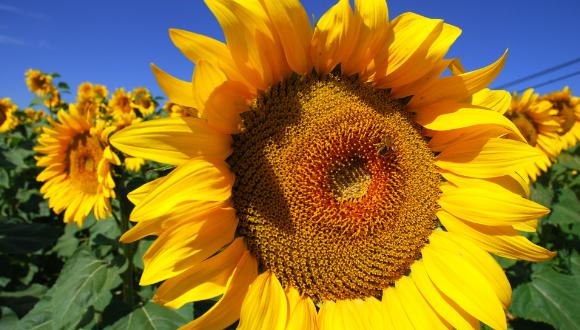 صورة فوائد الحب الشمسي , اللب السوري و فوائده العظيمة