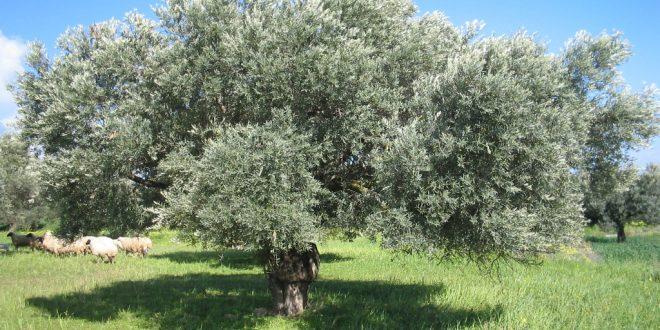 صورة صور شجر زيتون , ما لانعرفه عن شجره الزيتون