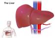 صورة مكان الكبد في الجسم , عضو هام فى الجسم تعرف على مكانه