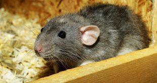 تفسير حلم الفئران السوداء , تفسير الفئران بشكل عام