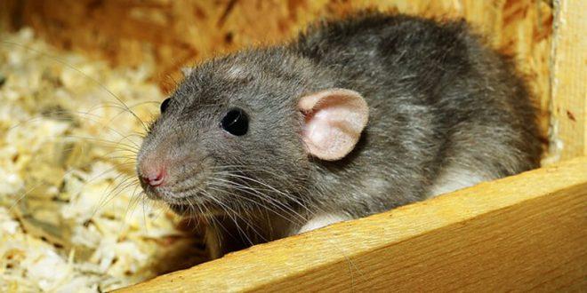 صورة تفسير حلم الفئران السوداء , تفسير الفئران بشكل عام