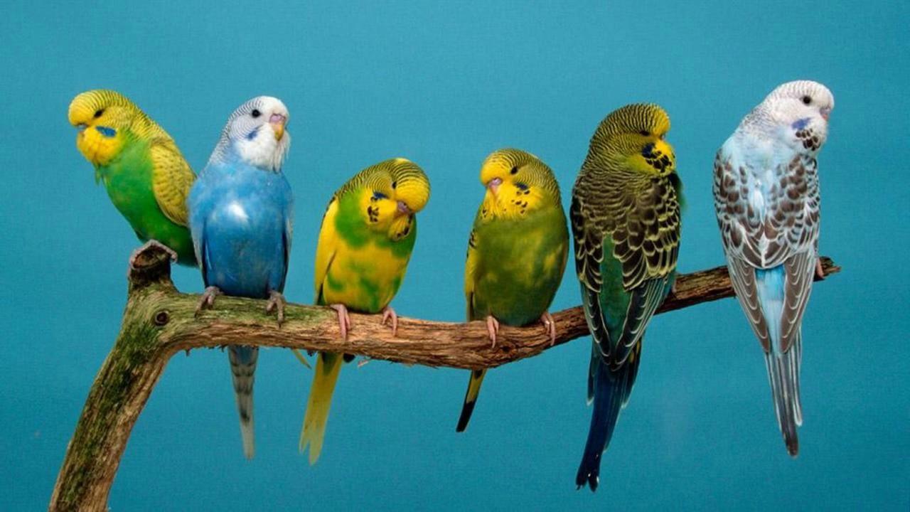 صورة اجمل صور الطيور , طيور الزينة تعيش بالحب