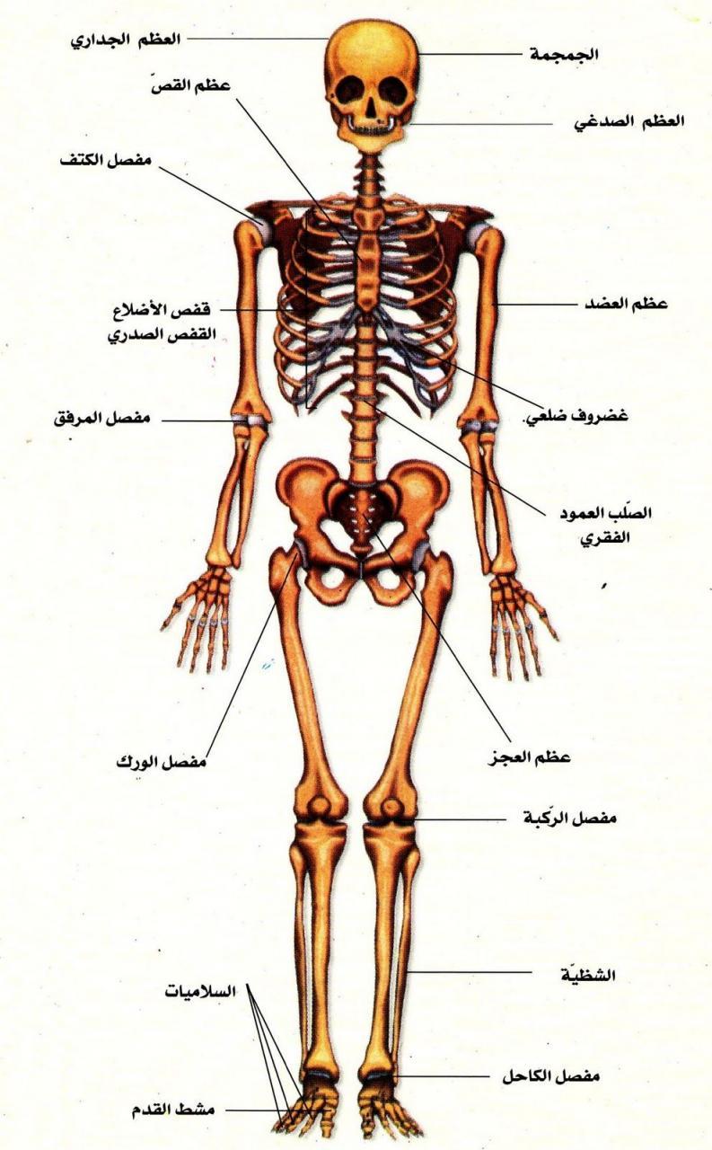 رسم تخطيطي لجسم الانسان تعرف على مكونات جسم الانسان عجيب وغريب