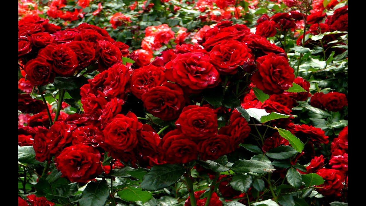 صورة موضوع عن الازهار , اجمل الازهار واسمائها