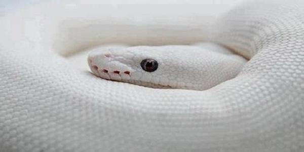 صورة الحية البيضاء في المنام , اذا حلمت بحيه فما تفسير ذلك