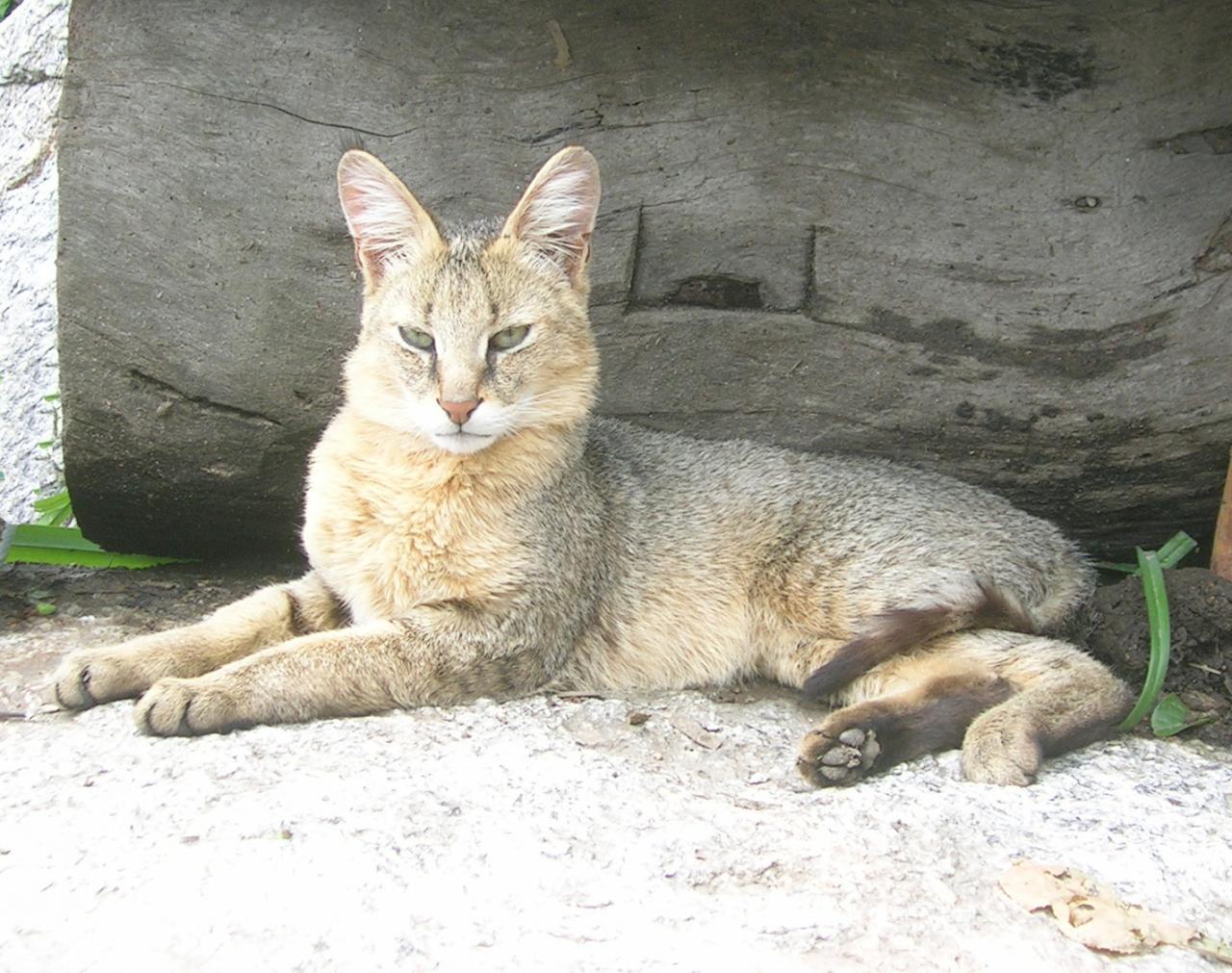 صورة هو حيوان بري اصغر من النمر , ما اسمه وشكله