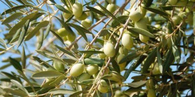 صورة كيفية زراعة الزيتون وطرق تكثيره ,شجرة مباركة